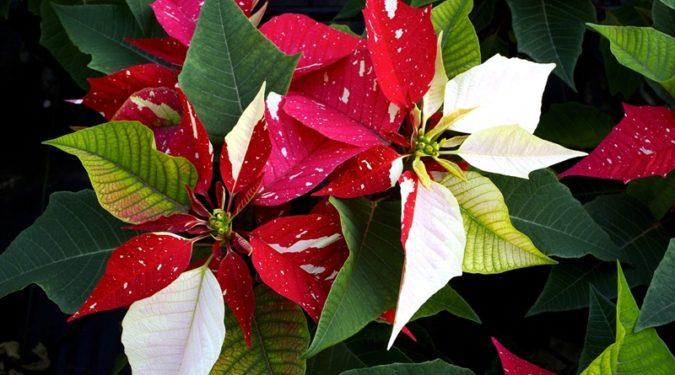 Пуансеттия в доме: рождественская звезда