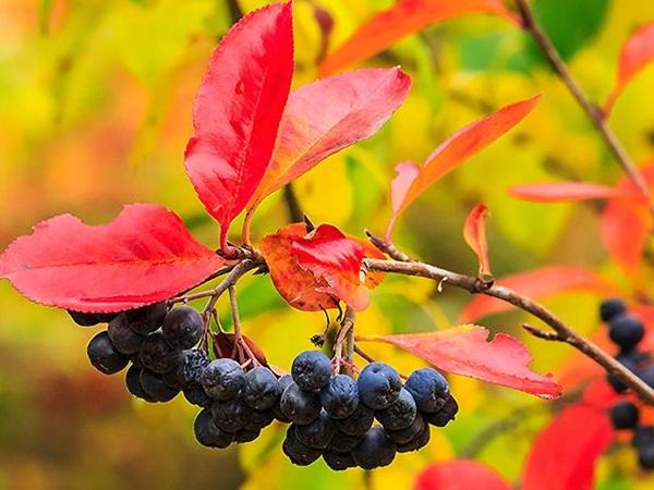 Осенние ягоды для иммунитета и сердца